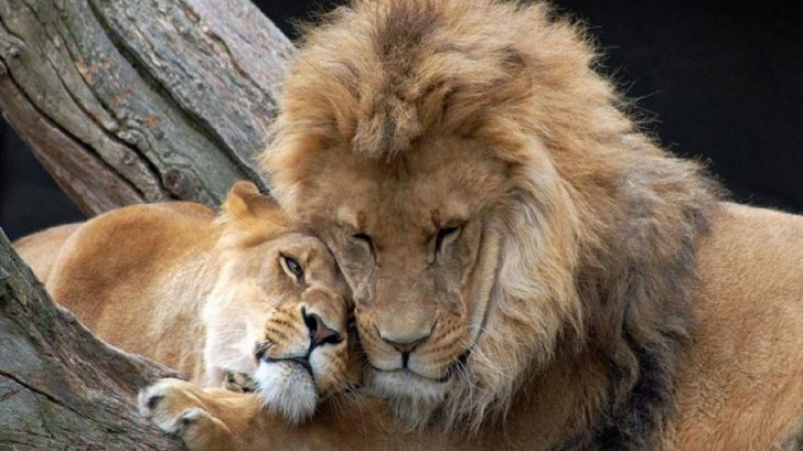 Lovers Lions Animals Couple Lioness Tree Lion Forest Hd Images